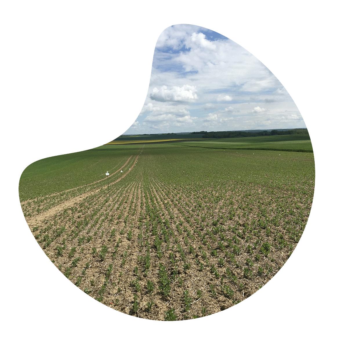 Agriodor - La solution biocontrôle pour lutter contre les bruches